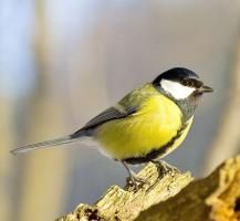 great-tit-6.jpg